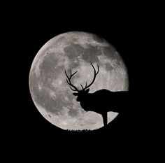 Elk and the moon Coyote Hunting, Archery Hunting, Pheasant Hunting, Types Of Animals, Animals And Pets, Elk Tattoo, Hunting Tattoos, Bowfishing, Hunting Blinds