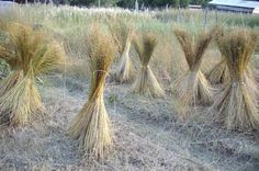 How To Harvest Linen Flax - http://www.ecosnippets.com/gardening/how-to-harvest-linen-flax-2/