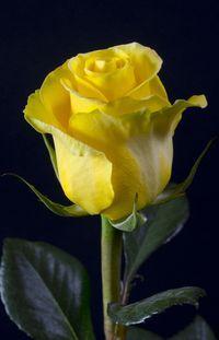 ✿⊱❥ BRIGHTON - Eden Roses Ecuador