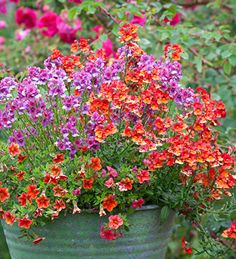 Calibrachoa, Nemesias Framboise & Sunset Papaya - A summer fiesta in a pot with classic Sarah Raven contrast of burnt orange & purple.You've got to try it!