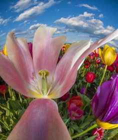Wooden Shoe Tulip Farm Photography by Don Lally