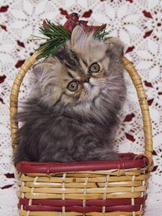 Persian Cat Brown Tabby Kitten in Basket, Texas, USA