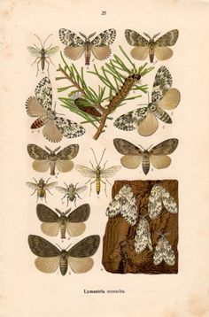 1915 Black Arches Moth Insect Lithograph Lymantria by Craftissimo, €14.00