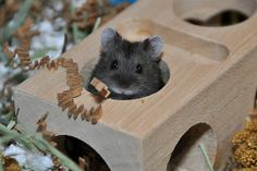 Campbell's Russian Dwarf Hamster | Flickr - Photo Sharing!