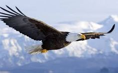 Resultado de imagem para flying eagle