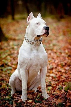 Shes amazing Cute Dogs Breeds, Dog Breeds, Beautiful Dogs, Animals Beautiful, Argentinian Dog, Dogo Argentino Dog, Hog Dog, Dog Emoji, Mundo Animal