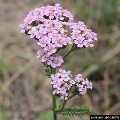 Rosa Schafgarbe (Achillea millefolium)  Pink common yarrow