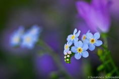 Flower Photography Blue ForgetMeNot Matted by SoulCenteredPhotoart, $22.00
