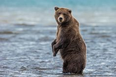 Bears and Bipedalism 2831 | Flickr - Photo Sharing!