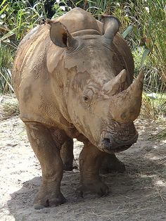 Rhino ~~ Poachers have put them on the endangered species list...they need our help!  Black rhinos are now declared officially extinct.  People must provide help to keep the sub species going.  Thank you!