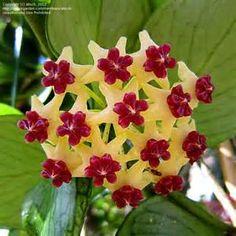 ... of Fish Tail Hoya, Wax Plant, Porcelain Flower ( Hoya polyneura