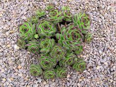 Sempervivum 'Peter Lotter' (Photo by Chris Rentmeister) Rock Garden Plants, Garden Types, Platycerium, Blossoms, Planting Flowers, Beautiful Flowers, Vines, Flora, Cactus