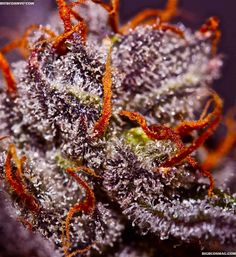 Beginner Marijuana Grower Series:  Three Reasons to Grow Your Own Marijuana! #growyourown #cannabis