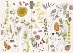 Angie Lewin's Spanish Seedheads watercolour drawing