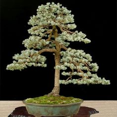 All The Trees In This Post Are From Ryan Neils Bonsai Mirai The - Black hills spruce bonsai trees