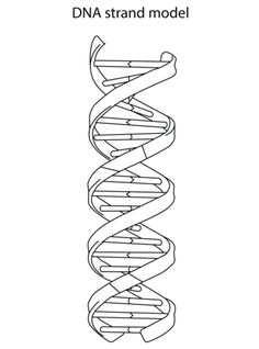 DNA Strand Model coloring page from Biology category. Select from 20946 printable crafts of cartoons, nature, animals, Bible and many more.