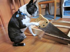 Boston terrier just doing some weekend warrior work around the house and sawing wood nbd
