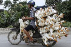 Ducks on a motorcycle in Hanoi, Vietnam - Photos - Overloaded vehicles - NY Daily News People Around The World, Around The Worlds, Honda Cub, Hanoi Vietnam, Vietnam Tours, Blog Voyage, Livestock, Motorbikes, Transportation