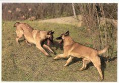 DOGS / HUND / CHIEN / - BERGER BELGE MALINOIS  ( P1117 )