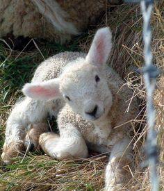 sheep, spring lamb, country lamb, little lamb Cute Baby Animals, Farm Animals, Animals And Pets, Nature Animals, Beautiful Creatures, Animals Beautiful, Spring Lambs, Baby Lamb, Tier Fotos