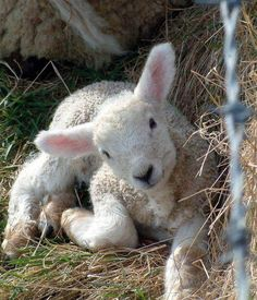 ewe are a sweetie lamb