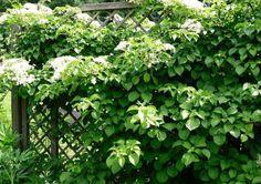 Kletterhortensien, sie benötigen kein Spalier. Pergola, Herbs, Patio, Green Facade, Concrete Wall, Trellis, Climbing Vines, Flowers Garden, House Exteriors