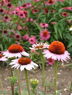 Stauden im Herbst vermehren - Sonnenhut Echinacea Texas Gardening, Plants, Flowers, Beautiful, Trees, Diy, Planting Flowers, Planting Bulbs, Wildflowers