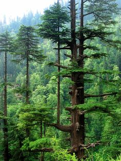 Cedrus deodara Darukavana (Sacred forests of Daru trees)-were places where holy men who served Shiva would live(with their families).This beautiful tree is sacred in Indian lore. Beautiful World, Beautiful Places, Beautiful Forest, Cedrus Deodara, Nature Tree, Tree Forest, Conifer Forest, Amazing Nature, Belle Photo