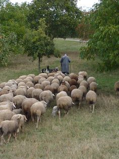 Lord Is My Shepherd, The Good Shepherd, Farm Animals, Animals And Pets, Cute Animals, Sheep And Lamb, Why Do People, Dog Walking, Farm Life