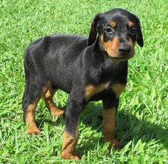 Doberman Pincher puppy! I played with a full-grown one yesterday, his back hit the top of my hips...so tall!!! and I'm in love with this breed!!!