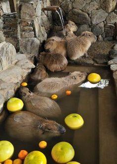 Capybaras enjoying an open-air bath at Izu Shaboten Animal Park, Japan.