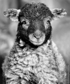 Beautiful spring herdwick lamb from DPB Images.