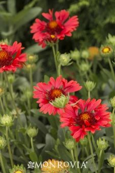 Monrovia's Celebration Blanket Flower details and information. Learn more about Monrovia plants and best practices for best possible plant performance.