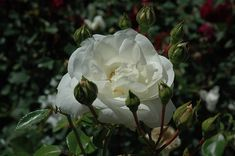 White Dawn Rose- This large flowered climbing rose has stunning, semi-double white blooms that are long lasting and give a constant show all season; spectacular on a trellis or along garden walls; abundant red hips in autumn