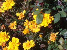 pt 62 oct 13 beautiful yelloow flowers in nampa idaho.