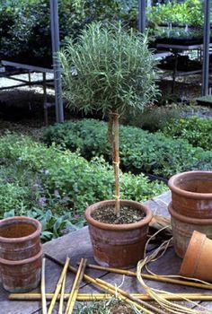 53 Ideas De La Planta De Romero Milagrosa Romero Planta Romero Plantas