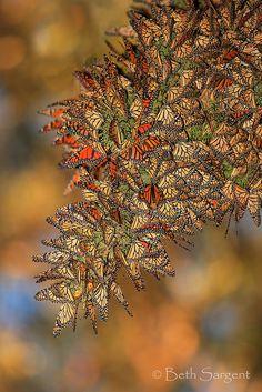 ~~Golden Cluster ~ Monarch Butterflies by Beth Sargent~~