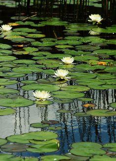 Lily Painting, Lily Pond, Nature Aesthetic, Aquatic Plants, Flowers Perennials, Water Garden, Fruit Garden, Landscape Art, Oeuvre D'art