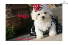 Meet Lizzy a cute Bichon Frise puppy for sale for $650. Lizzy Sweet Bichon Baby Girl
