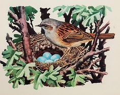 Charles Tunnicliffe, 1940s Original Vintage Colour Bird Print, Dunnock with Nest and Eggs