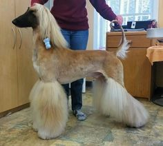Afghan Hound is a breed with beautiful long hair. It will be very interesting for the owners to look at the interesting hairstyles and haircuts for their pets. Beautiful Dog Breeds, Beautiful Dogs, Animals Beautiful, Afghan Hound, Dog Grooming Salons, Pet Grooming, Pet Dogs, Dog Cat, Doggies