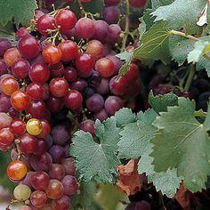 Viiniköynnös Spulga - Viherpeukalot