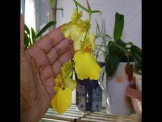 Al fin!!!!! - Primer Oncidium que florece en mi casa