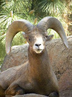 Desert Big Horn Sheep Animals Beautiful, Cute Animals, Mountain Goats, Big Horn Sheep, San Diego Travel, Rocky Mountain National Park, Dahl, Wild Things, Bison