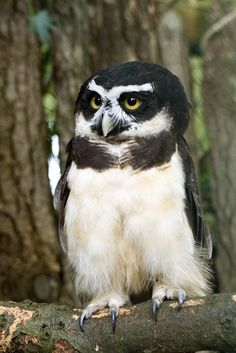 Spectacled Owl Owls Are Awesome's photo.