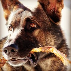 #kevät #spring #germanshepherd #german #shepherd #deutcheschäferhund #schäferhund #schäfer #saksanpaimenkoira #koira #dogsofinstagram #dog #koira #workingdog #friend #mydog Evergrey's Ewo