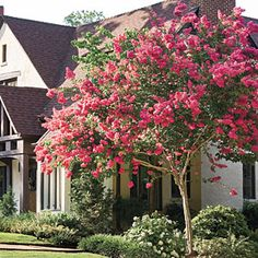 Gardening Tips Image 1 - The Common Crape-Myrtle Tree is one of the most popular flowering trees – known for its attractive bark and showy colorful flowers. Buy Crape Myrtle Tree Seeds in our easy online seed store. Garden Trees, Lawn And Garden, Trees To Plant, Garden Hose, Beautiful Flowers Garden, Beautiful Gardens, Outdoor Plants, Outdoor Gardens, Lagerstroemia Indica