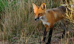 Animaux - Signez la pétition : Contre les battues aux renards à Oye Plage et ailleurs !