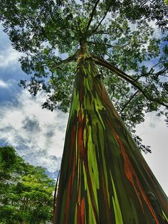 rainbow eucalyptus  eucalyptus deglupta - The Rainbow Eucalyptus has a trunk that shows off multi-colored layers of bark, producing a rainbow of shades.    When this tree gets a good dose of water, its trunk will swell, causing its bark to peel off in paperlike sheets- each exposed layer displays a different color- from reds to oranges,  greens and purples, even blueish hues.