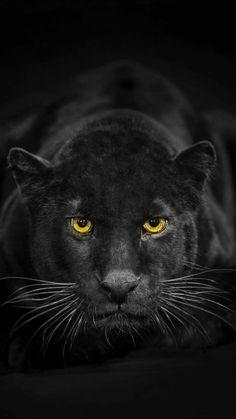 Wallpaper Silencio -pantera negra-<br> More memes, funny videos and pics on Pretty Cats, Beautiful Cats, Animals Beautiful, Beautiful Creatures, Black Animals, Animals And Pets, Cute Animals, Wild Animals, Regard Animal